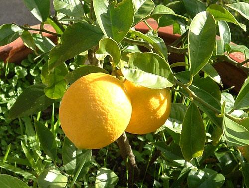 June lemon